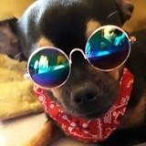 Chien Chihuahua Pika