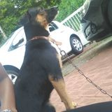 Chien Pinscher Pretty