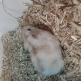 Rongeur Hamster Pip'
