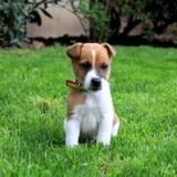 Chien Jack Russell Terrier Pitch