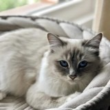 Chat Birman Pixie