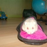 Rongeur Hamster Plume