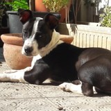 Chien Jack Russell Terrier Plume
