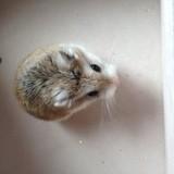 Rongeur Hamster Plumette