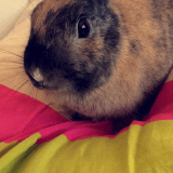Rongeur Lapin Pompom