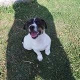 Chien Jack Russell Terrier Pookie