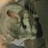 Rongeur Chinchilla Popeye