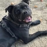Chien Staffordshire Bull Terrier Popeye