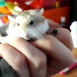 Rongeur Hamster Poupy