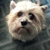 Chien Cairn Terrier Poupy