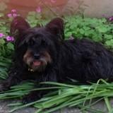 Chien Cairn Terrier Praline