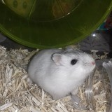 Rongeur Hamster Valentine