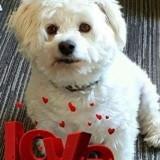 Chien West Highland White Terrier Princesse