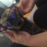 Chien Chihuahua Princesse