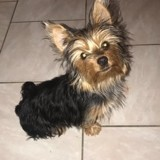 Chien Yorkshire Terrier Prunelle