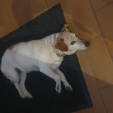 Chien Jack Russell Terrier Puce