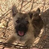 Chien Cairn Terrier Puma