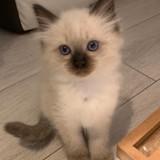 Chat Ragdoll Roméo