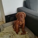 Chien Dogue de Bordeaux Ragnar