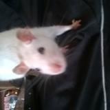 Rongeur Rat Ratatouille