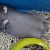 Rongeur Rat Zilério