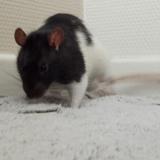 Rongeur Rat Lenny