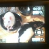 Rongeur Rat Suzie Et Lili