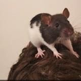 Rongeur Rat Speedy