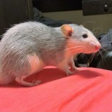 Rongeur Rat Teemo