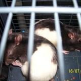 Rongeur Rat Ratata
