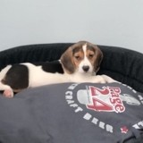 Chien Beagle Raya