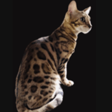 Chat Bengal Replay