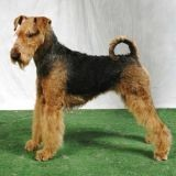 Chien Airedale Terrier Rio
