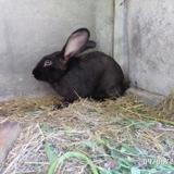 Rongeur Lapin Rocco