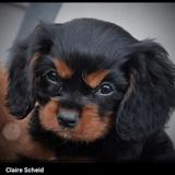 Chien Cavalier King Charles Spaniel Rolls