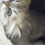 Chat Persan Roméo
