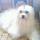 Chien Petit chien lion Rosa