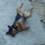 Chien Rottweiler Rocky