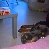 Chien Rottweiler Témis