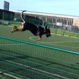 Chien Rottweiler Black
