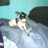 Chien Chihuahua Roublard