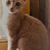 Chat Gouttière Rouquin