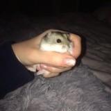Rongeur Hamster Roxy