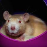 Rongeur Rat Rubby