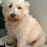 Chien West Highland White Terrier Sally