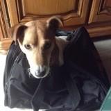 Chien Jack Russell Terrier Salvé