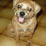 Chien Border Terrier Sandy