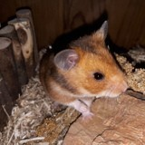 Rongeur Hamster Scoll