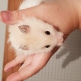 Rongeur Hamster Scotch