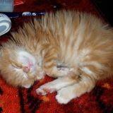 Chat Scottish Fold à poil long Tiki